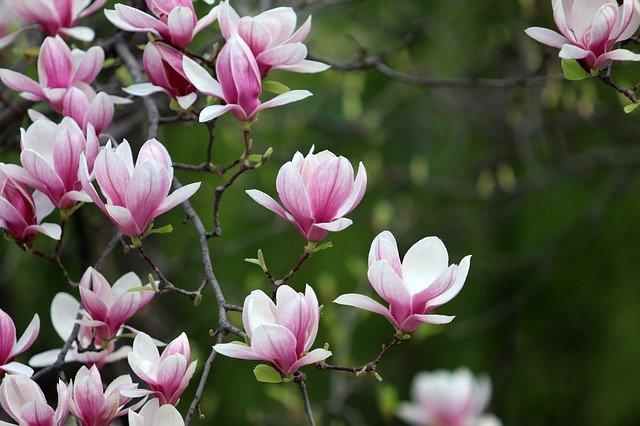 magnolia pielęgnacja przycinanie